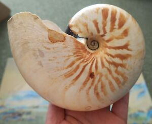 Coquillage Collection Nautile Nautilus Macromphalus Shell New Caledonia 15cm