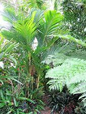 Ivory Cane Clumping Palm ~ Pinanga Coronata ~ 5 fresh seeds