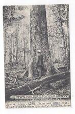 NY Livingston Manor New York 1906 udb post card Largest Birch Tree Sullivan Co