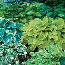 Hosta Mix Super Bag  Assorted 4 plants