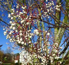 Kashmir Rowan Bare Root Tree Sorbus Cashmiriana Ornamental Berry Trees Plant