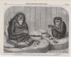 1864 PRINT CHIMPANZEE AND ORANGUTAN  AT ZOOLOGICAL GARDENS REGENTS PARK S3