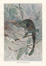 c1914 NATURAL HISTORY PRINT ~ AFRICAN CHAMELEON ~ LYDEKKER