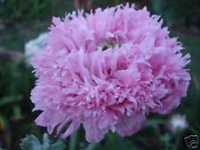 5+ SEEDS - Peony Poppy Plant,Fluffy Pink/Mauve Flower