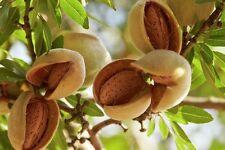 5 FRESH Bitter Almond Prunus Dulcis Seeds Organic - Ideal rootstock for grafting