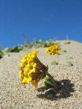20 YELLOW SAND VERBENA Coastal Abronia Latifolia Arenaria Flower Seeds *Comb S/H
