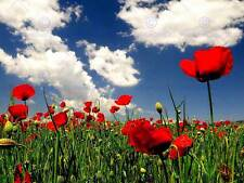 RED POPPY FIELD GREEN BLUE SKY PHOTO ART PRINT POSTER PICTURE BMP2244B