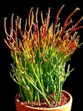 Pencil Cactus, Firesticks   |  5 Succulent Cuttings - Also Known As Euphorbia