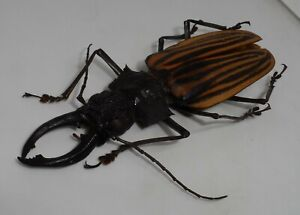 Cerambycidae,  Macrodontia castroi Male GIANT (103mm) Good A2 EXCLUSIVE!!!