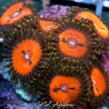 New listing Wysiwyg Live Coral: Wwc Bloodsucker; Paly Zoa Palys Zoas Polyps Red World Wide