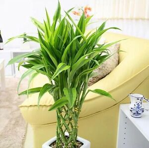 20pcs 100% Genuine Rare  Lucky-Bamboo seeds Anti Radiation Absorb dust tree seed