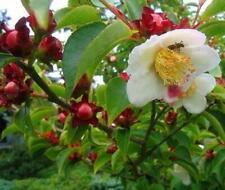 Stewartia rostrata - Rare Camellia tree in 9cm Pot