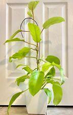Huge 32� tall Golden Goddess Philodendron, live matured plant.Slightly variegate