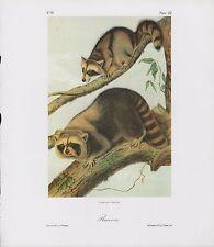 "1989 Vintage ""Raccoon"" A Lovely Audubon Mammal Color Art Plate Lithograph"