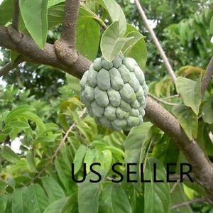 Annona squamosa Sugar apple 50, 100, 200, 500, 2000 seeds