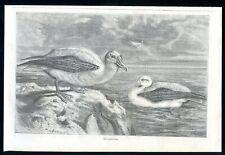 Albatross...wood engraving...1868