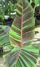 BANANA - Musa sikkimensis Manipur 10 seeds