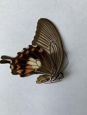Papilio Rumanzovia Male A1 Papered Specimen Ex Philippines
