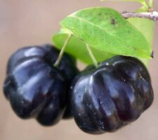 ~Black Star~ Surinam Cherry Fruit Tree Eugenia uniflora Live Potd Plant Seedling