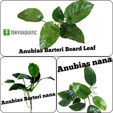 3 Anubias Package Barteri Nana| Anubias nana|Broad Leaf Live Aquarium Plant Easy