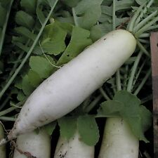 VEGETABLE RADISH  MOOLI MINOWASE 300 SEEDS  ** FREE UK P&P**