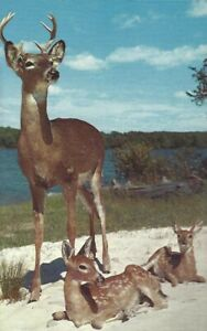 """Vintage Postcard, """"The Majestic Buck & His Two Young Sons"""", Deer by Lake, unused"""