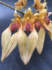 Bulbophyllum Annandalei Orchid Rare Species Blooming Size Division Plant 1