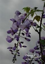 Blauregen-Wisteria-Glyzine sinensis 'Carolina' 80/100 cm