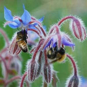 Herb Borage -  300 seeds - Top 10 herb for attracting bees