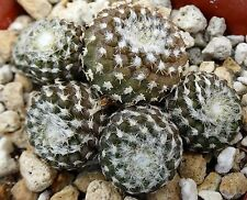 Copiapoa laui Second smallest Cactus species! Rarely available