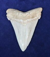 """3.11"""" White Angustiden Shark Tooth High Quality Land SC Fossil NO REPAIR (MT-11)"""