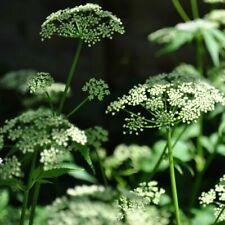 Aegopodium podagraria Wild Ground Elder Goutweed Medical Supplement Cottage Herb