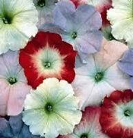 Petunia Seeds 50 Pelleted Seeds Celebrity Watercolors Seeds MIXTURE