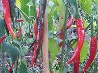 Thai Hot Chilli, Heavy Yield - 20 Seeds
