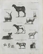 1797 2x Antique impresiones Ovis RAM ovejas Oveja diversos tipos de + 1797 Artículo Original