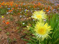 MITTAGSBLUME begeistern jeden Kakteen-Freund große gelbe Blüten.