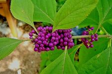 Live Plants Purple American Beauty Berry 1-2 Ft. Bush Callicarpa French Mulberry