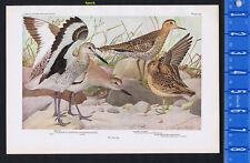 Willet, Upland Plover & Buff-Breasted Sandpiper - 1936 Bird Print