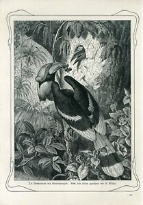 c1900 RHINOCEROS HORNBILL BIRD NEST BABY Antique Engraving Print Paul Matschie