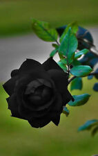 (50+ pc)Turkish Black Rose Bush Seeds - Rare, Exotic & Beautiful  Rose