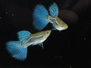 Guppy Blue Grass Pair live fish Male&Female Breeding Guppies  Aquariums