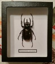 Real Framed Chalcosoma caucasus in Black Faux Leather Shadow Box