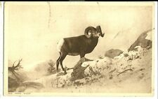 Mountain Big Horn Sheep with horns Animal Postcard Canadian Pacific Highway