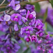Hardenbergia violacea Purple Coral Pea Native Lilac native plant in 50mm pot