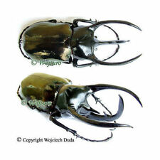 Chalcosoma chiron  (caucasus) - male, nice and very large, +110mm