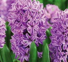 100 Hyacinth Flower Seeds Mixed Beautiful Colorful Plant for Home Garden Bonsai