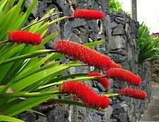 Xeronema callistemon, Poor Knights Lily, 15 rare seeds, spectacular, red blooms