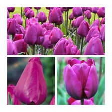 Negrita Tulip x 30 Bulbs Beautiful Dark Purple Triumph Tulip Flowers