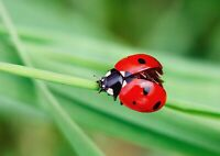 A1 | Art Poster of Pretty Ladybug 60 x 90cm 180gsm Red Nature Insect Gift#14303