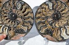 "9194xx Rare 1in100 Black Ammonite Pair Deep Crystal 110myo Fossil Xxl 225mm 8.8"""